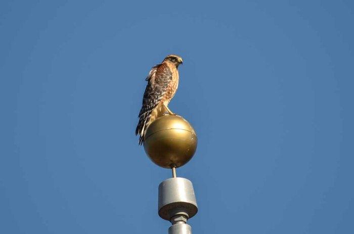 hawks (1 of 12)